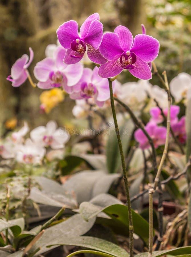 Blooming hybrid purple orchids phalaenopsis stock photos