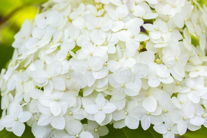 Blooming hydrangea, background wallpaper banner close-up. Small white flowers, lush head hydrangea bloom. Garden decorative flower royalty free stock photos