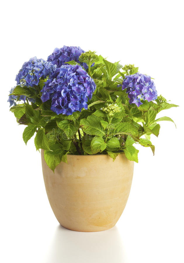 Blooming Hydrangea in flower pot isolated. Blooming blue Hydrangea plant in flower pot isolated on white backgorund royalty free stock photo