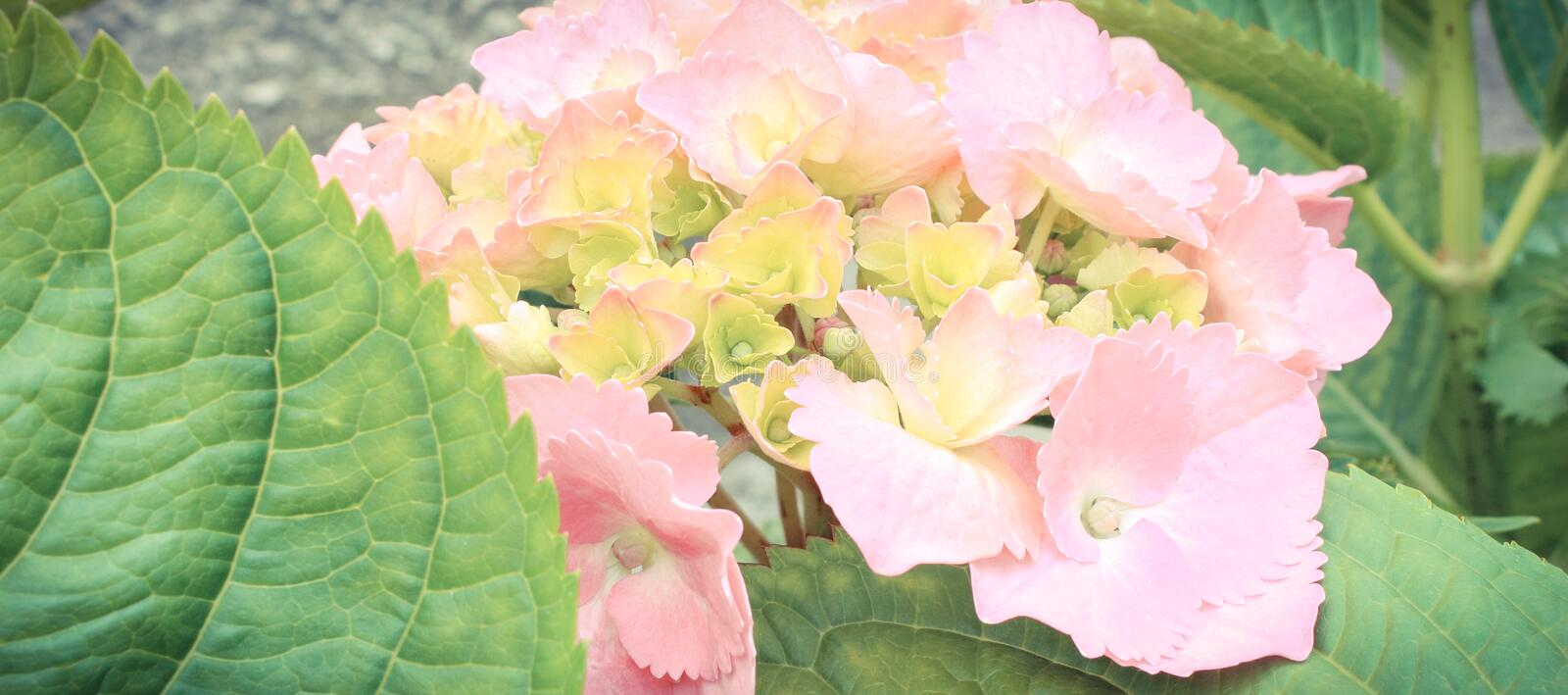 Blooming hydrangea with green leaves in sunny garden. Seasonal flowers concept stock image