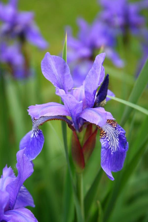 Blooming Iris stock photo