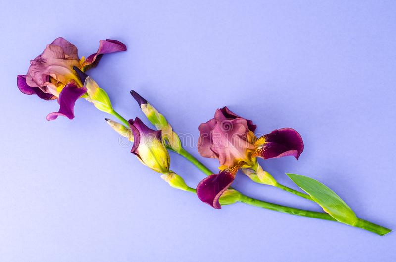 Blooming iris on bright paper background. Studio Photo stock images