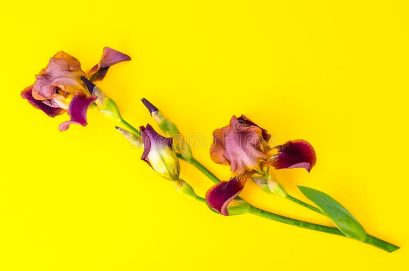 Blooming iris on bright paper background. Studio Photo stock photography