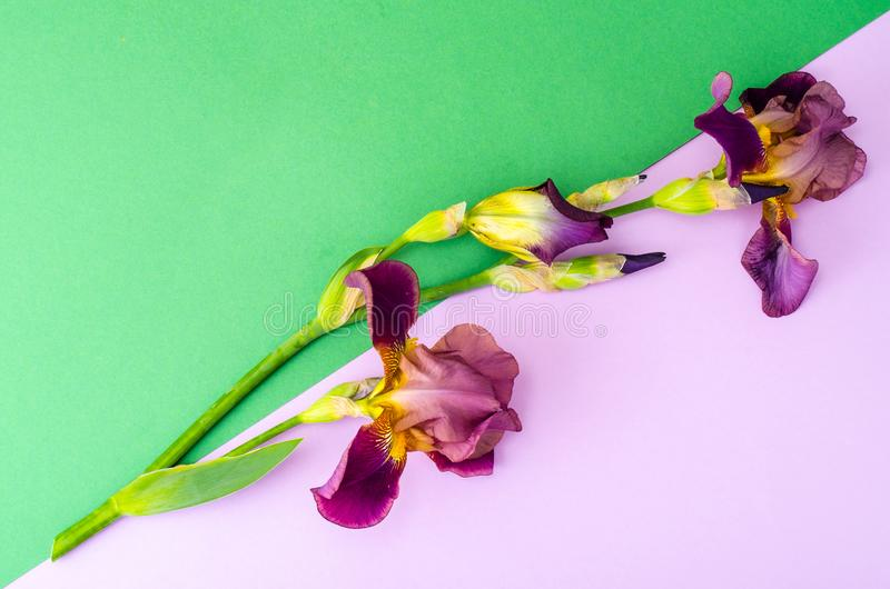 Blooming iris on bright paper background. Studio Photo royalty free stock image
