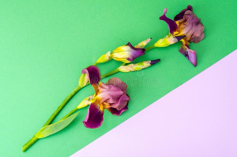 Blooming iris on bright paper background. Studio Photo royalty free stock photography