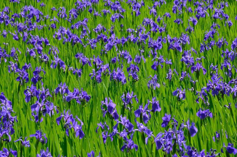 Blooming iris flower in swamp, Kyoto Japan stock image