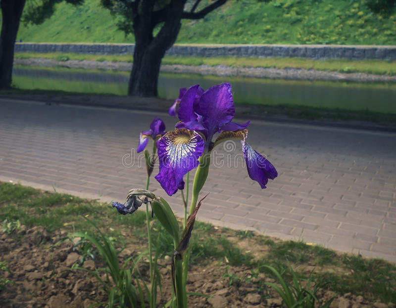 Blooming iris in the park. Beautiful iris in the park royalty free stock images