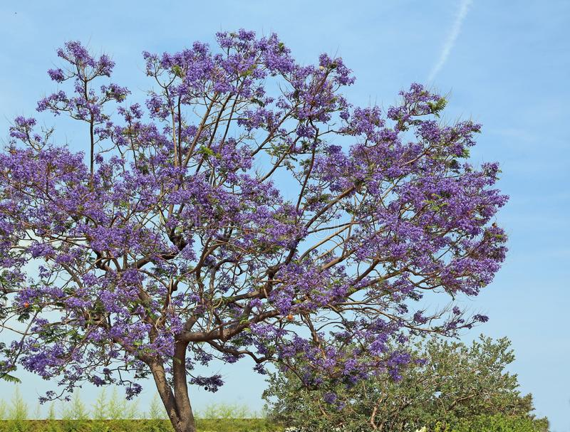 Blooming jacaranda tree against the blue sky royalty free stock photo