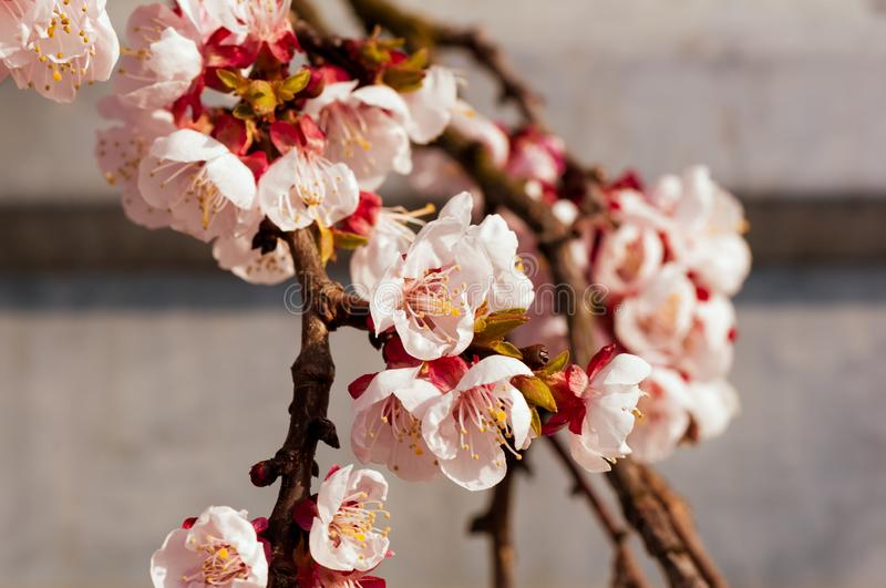 Blooming japanese cherry tree. Blossom white, pink sakura flowers with bright white flowers in the background. Blooming japanese cherry tree. Blossom white, pink stock image