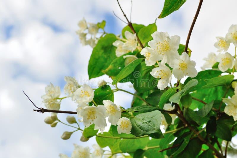 Blooming jasmine against blue sky. White blooming jasmin flowers against blue sky - floral background stock photos