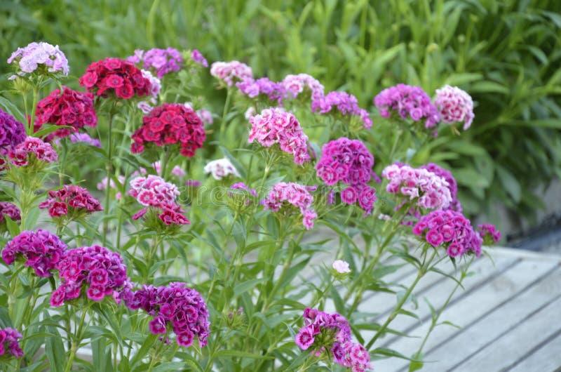 Flowerbed dianthus barbatus. stock photos
