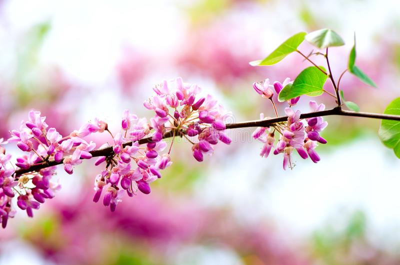Blooming Judas tree. Cercis siliquastrum, canadensis, Eastern redbud. Blossom pink flowers branch in sunlights. Spring royalty free stock photography