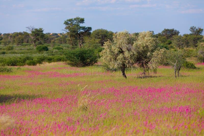 Blooming Kalahari desert South Africa wilderness. Violet blooming - flowering Kalahari desert after rain season, South Africa wilderness stock photography