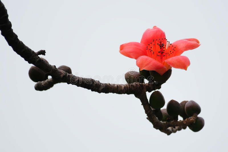 Download Blooming Kapok Flower In Spring Royalty Free Stock Photography - Image: 21956867