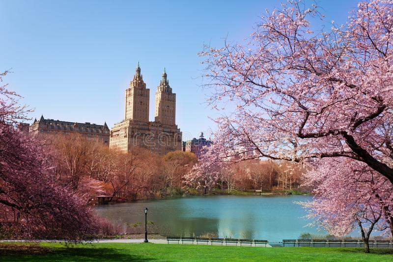 Blooming Kwanzan Cherry trees in NY central park royalty free stock photography