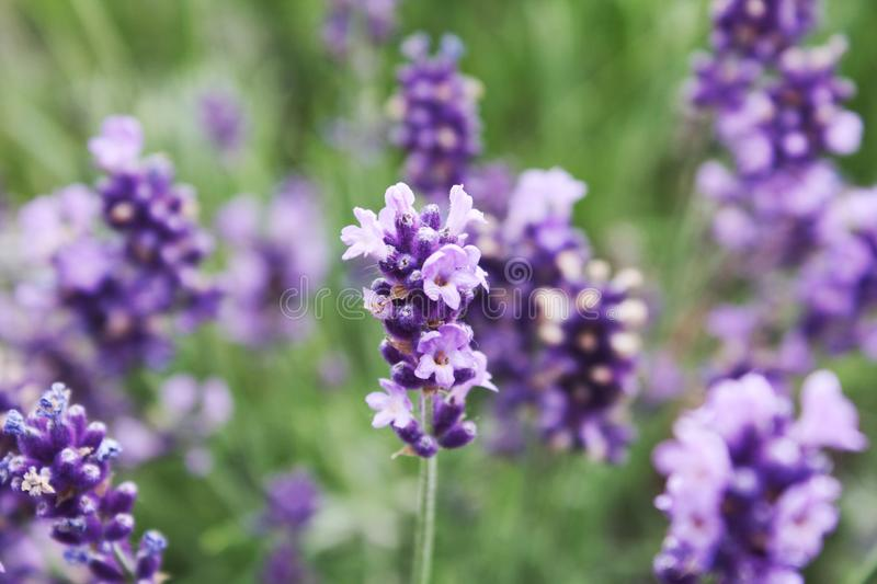 Blooming lavender in the field. royalty free stock photos