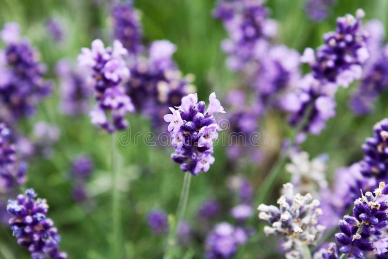 Blooming lavender in the field. stock photos