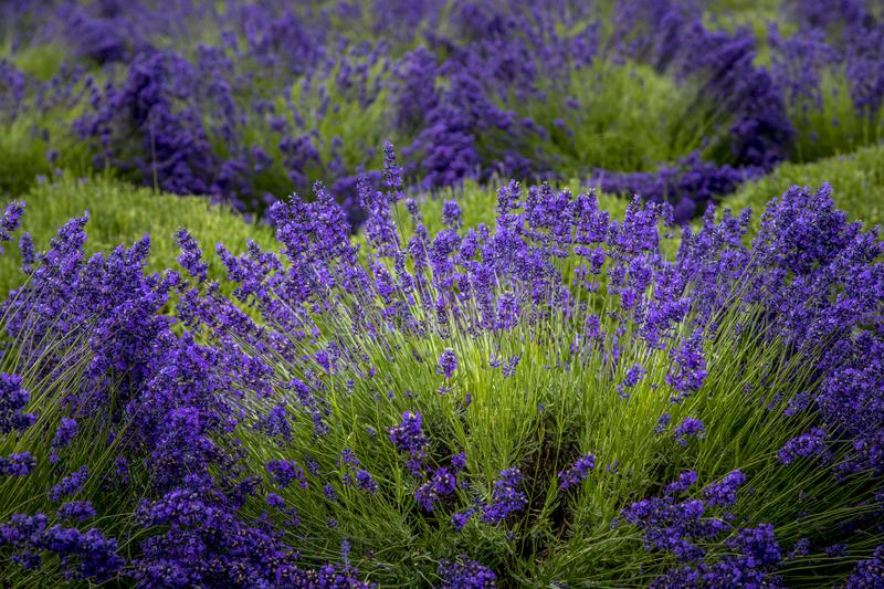 Blooming lavender fields in Pacific Northwest USA. Purple lavender plants in full bloom in lavender field ready for harvest royalty free stock image