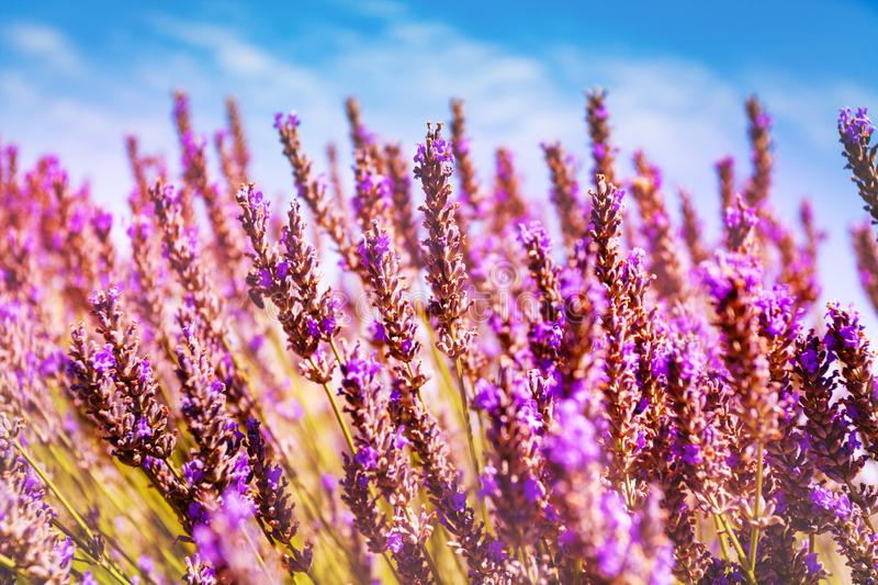 Blooming lavender flowers against blue sky, France. Close-up of blooming lavender flowers against blue sky, Provence, France stock photos