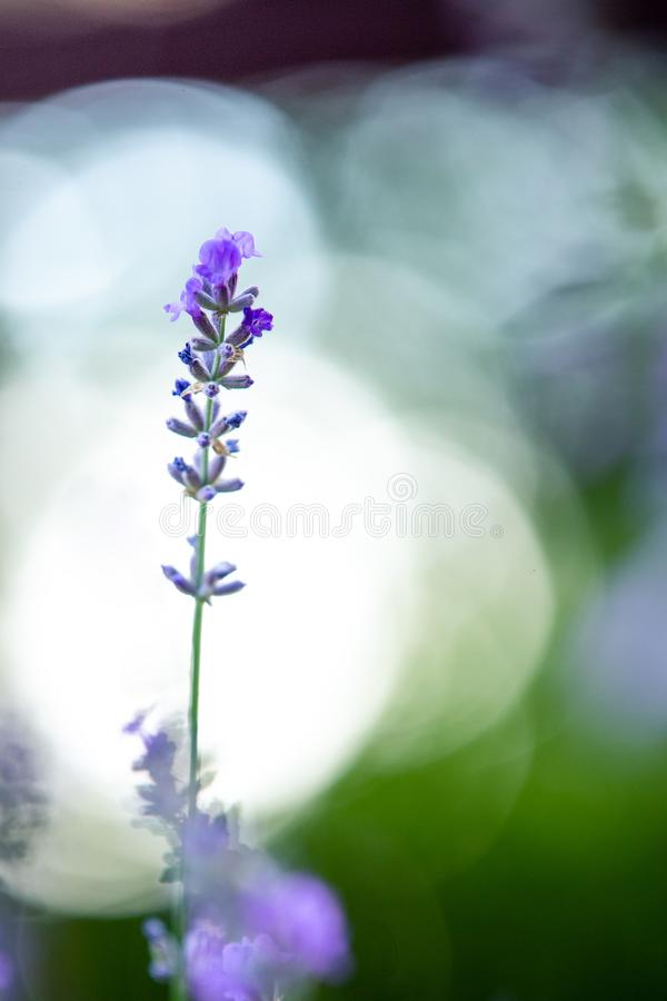 Blooming lavender. Flowers in backlight. Medicinal plant. Bokeh in the background. Summer mood stock images