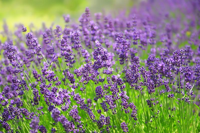 Blooming lavender flowers. Close up of blooming lavender flowers royalty free stock photography