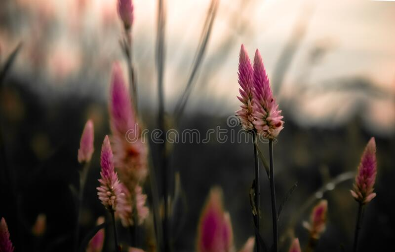 Blooming lavender flowers royalty free stock photography