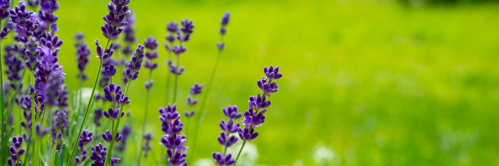 Blooming lavender flowers on green grass background on a sunny day. Web banner. Summer season in the countryside royalty free stock image