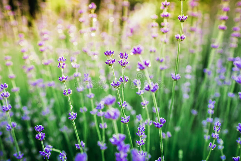 Blooming lavender in summer and sun evening light. Garden flowers. Blooming lavender in summer and sun evening light royalty free stock photo