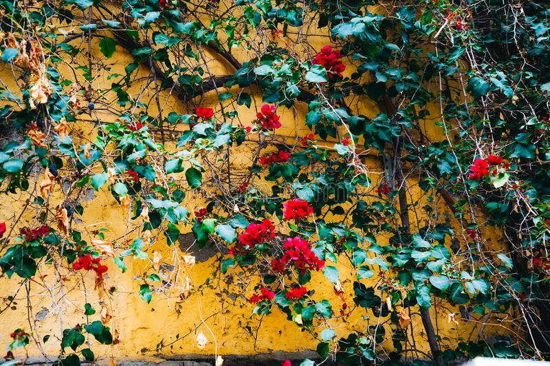 Blooming liana with red flowers in garden on Montjuic mountain. Bright colorful bougainvillea flowers on yellow wall stock images