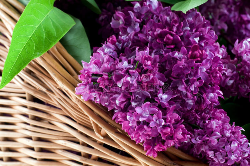 Blooming lilac. stock photography