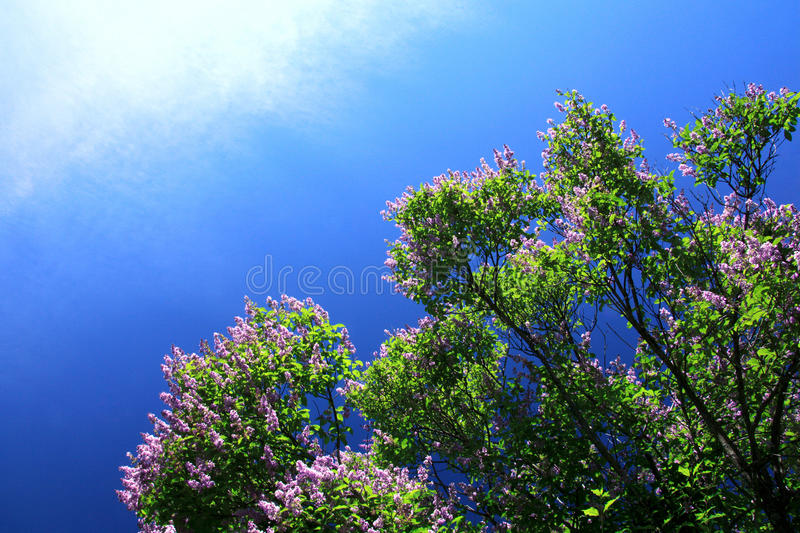 Blooming Lilac Stock Photos