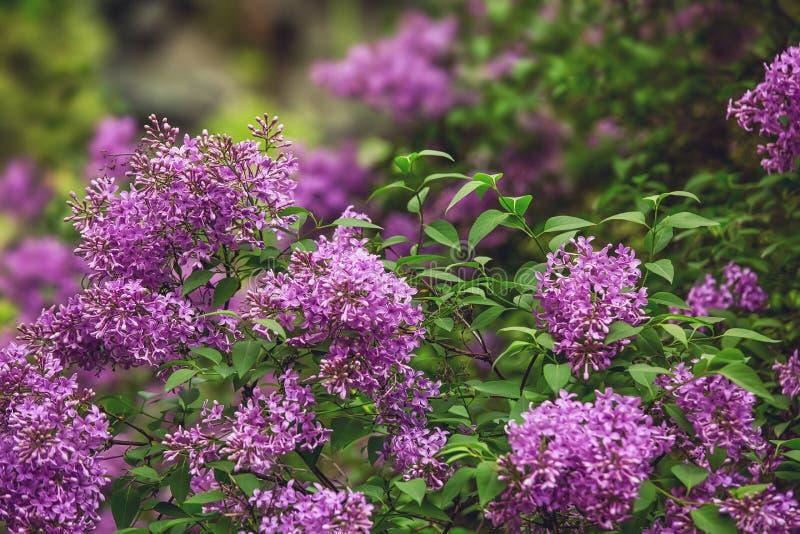 Blooming lilac, florale achtergrond in de lente royalty-vrije stock foto