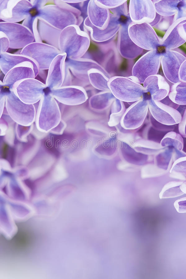 Download Blooming lilac flowers stock photo. Image of floral, romantic - 24802778