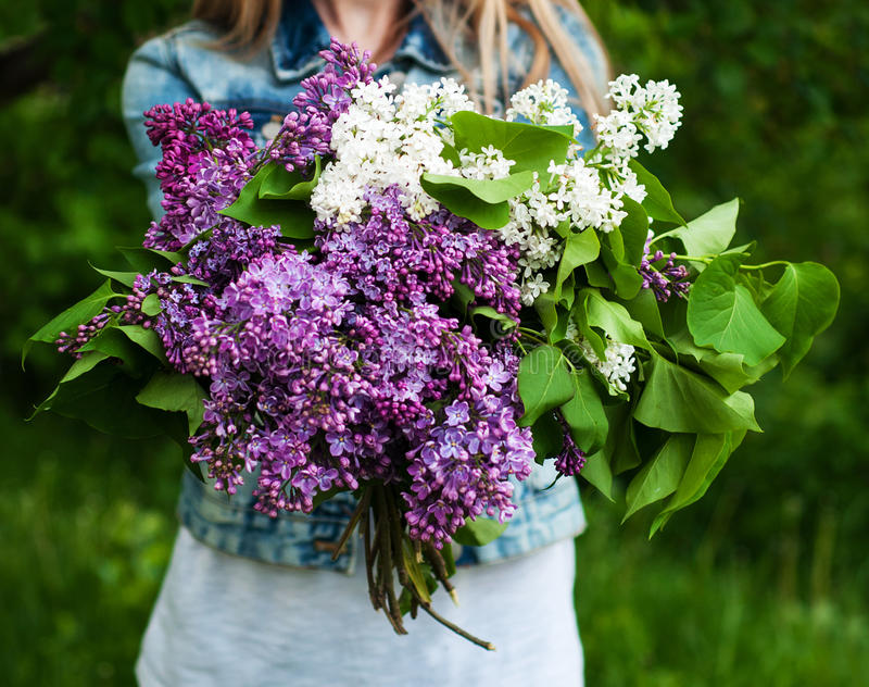 Blooming lilac flowers in hand royalty free stock photo