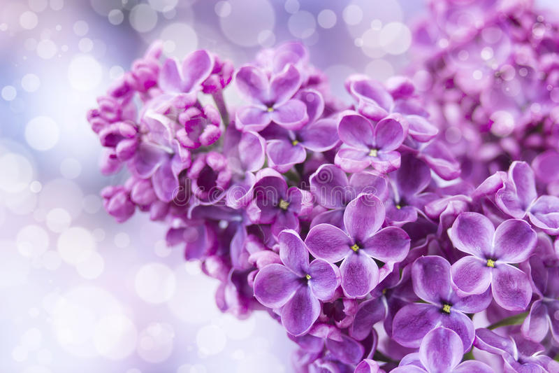 Blooming lilac flowers. Macro photo. royalty free stock photos