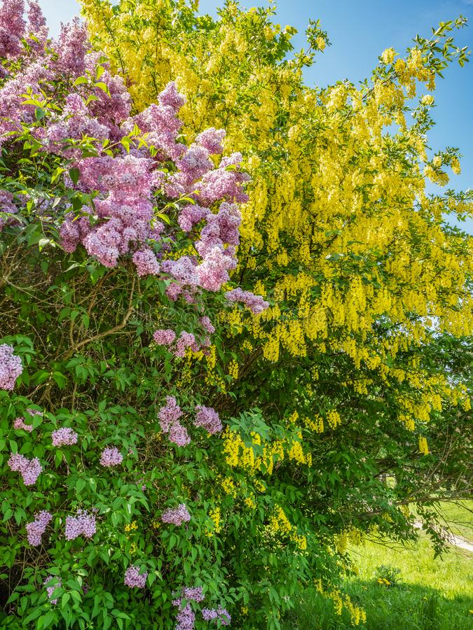 Blooming lilac and Laburnum tree against the blue sky royalty free stock photos