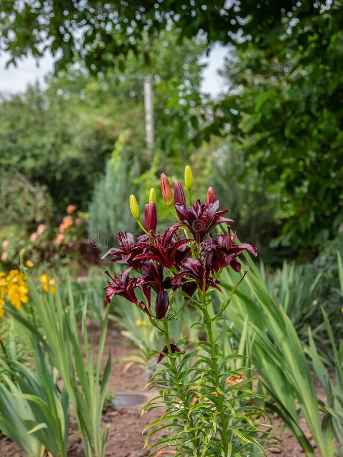 Blooming lilies in the garden, floriculture as a hobby stock photo