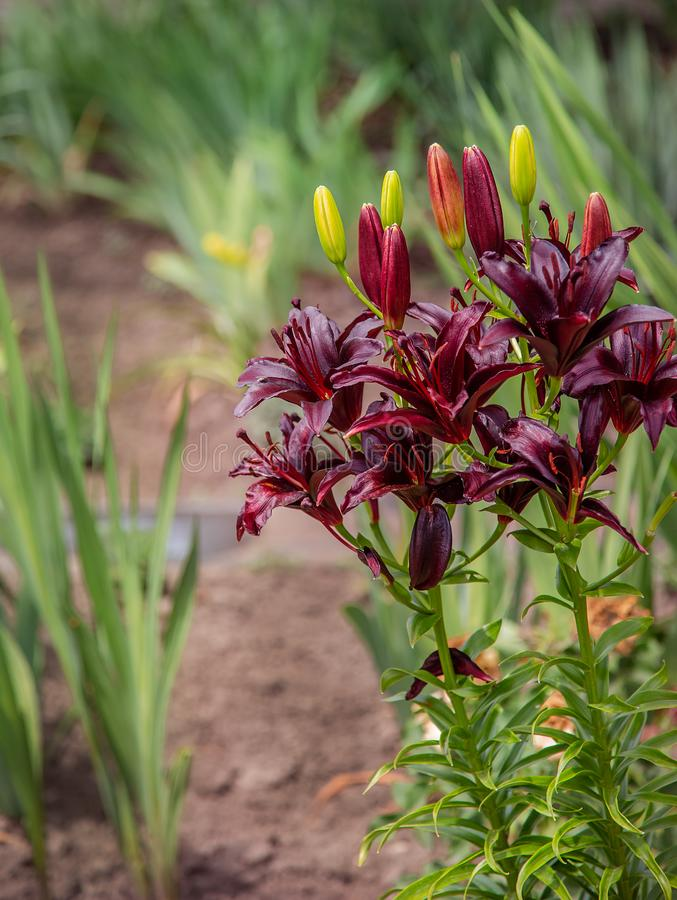 Blooming lilies in the garden, floriculture as a hobby stock photos