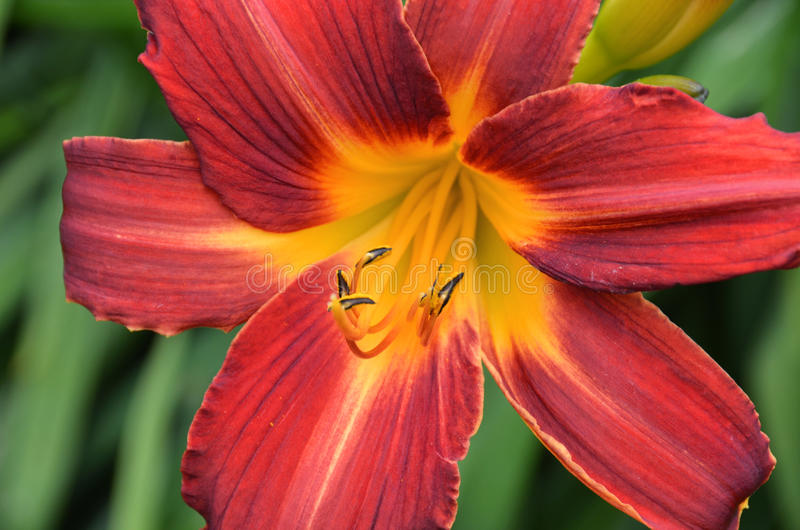 Blooming lilium. Close up of fire like blooming lilium stock image