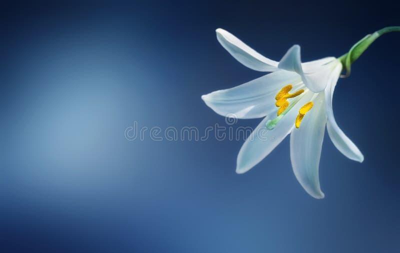 Blooming Lilium Free Public Domain Cc0 Image