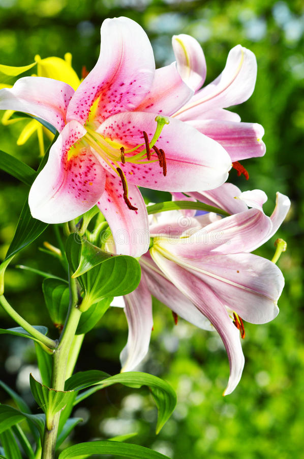 Blooming Lilium In The Garden Stock Photo