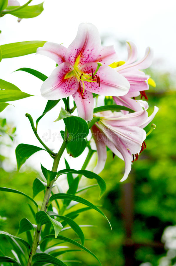 Download Blooming Lilium In The Garden Stock Image - Image: 42983253