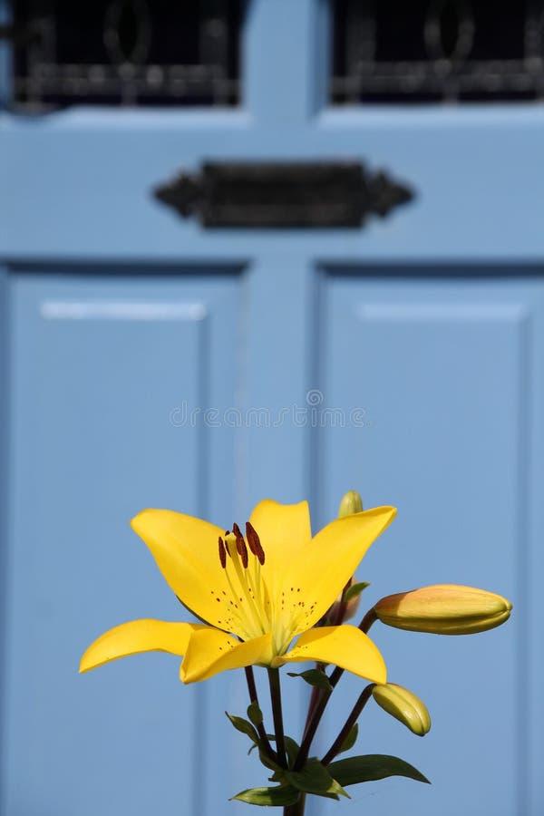 Blooming Lilium in the garden. Blooming Lilium in the garden before the blue front door in the summer stock photos