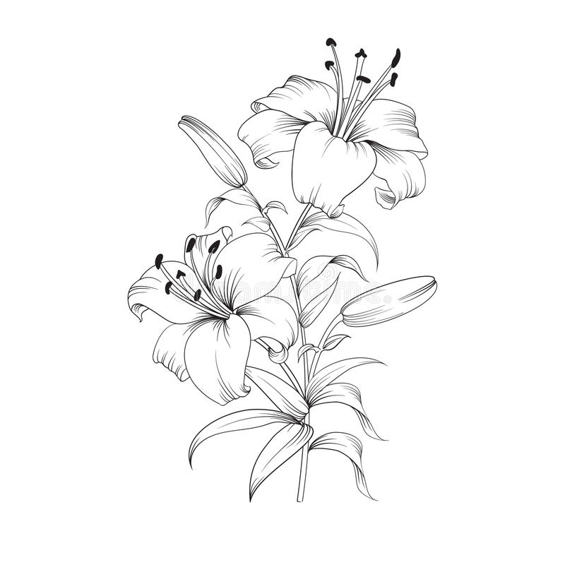 Blooming lily flower royalty free illustration