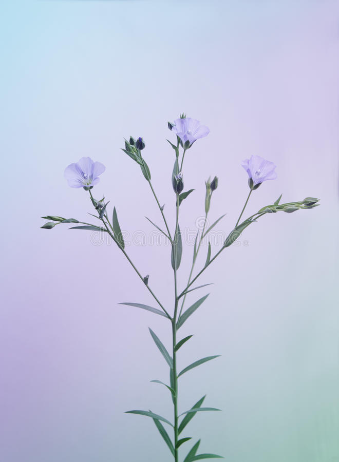 Blooming linen twig, toned. Flax (linen, lat. Linum usitatissimum) branch with flowers on color background, toned, soft focus, shallow DOF stock photos