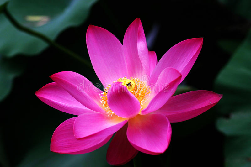 Blooming lotus and Bees stock photo