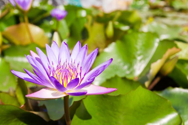 A blooming lotus flower royalty free stock image