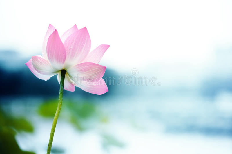 Blooming lotus flower stock images