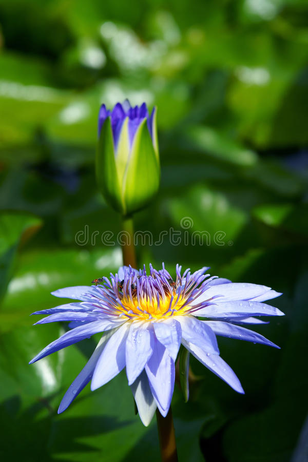 Blooming of a lotus flower on pond stock image