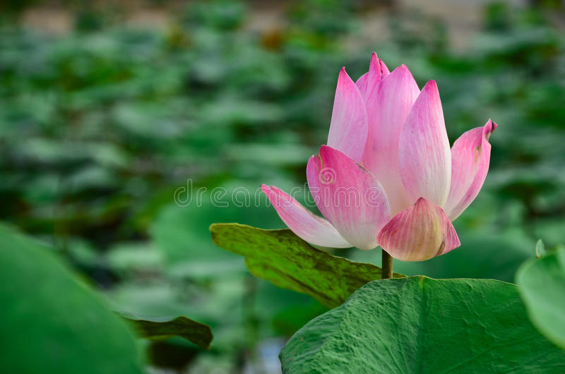 Download Blooming lotus flower stock image. Image of park, asia - 34441649